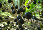 Açaí palm (Euterpe oleracea) with Acai Berries