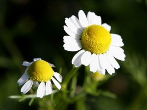 Blossom of Spanish chamomile (Anacyclus pyrethrum DC)