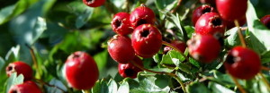 (Crataegus pinnatifida) Hawthorn berries