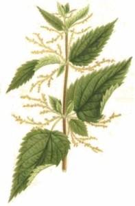 Urtica dioica (Stinging nettle) - Divanillyltetrahydrofuran