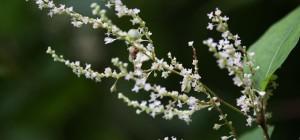 Japanese Knotweed (Polygonum Cuspidatum) trans-Resveratrol
