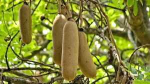 Kigelia africana (Sausage Tree) fruit