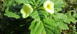 Pedalium murex (P. murex) Linn plant