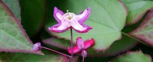 Epimedium rubrum flower